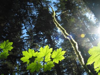 Sun rays filter through the Tongass rain forest canopy.