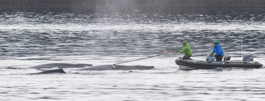 Researchers tagging humpback whales under permit.