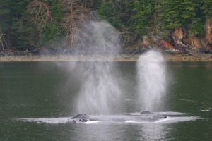 Humbpack whale blows in Seymour Canal in spring.