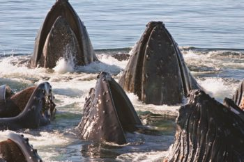Six Humpback Rostrums Pointing Up