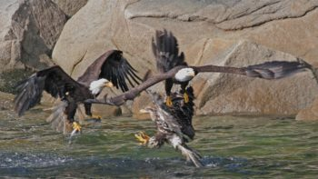 Eagles swooping in on a bounty of herring.