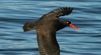 Blackish Oyster Catcher