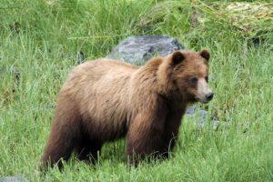 xoots--the Tlingit native term for the mighty Alaska brown bear (Ursus arctos)