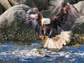Bald Eagle Attacking Schooling Herring. ©Dennis Rogers