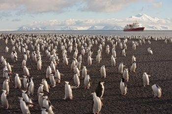 Chinstrap Penguins on Deception Island Antarctica. (c) Ted Cheeseman